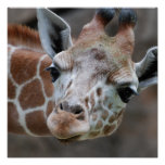 Adorable Giraffe Poster