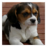 Beagle Puppy Dog Poster Print