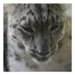 Cute Snow Leopard Poster