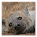 Hyena Picture Poster