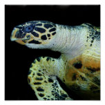 Leatherback Sea Turtle Poster Print
